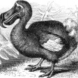 the swinging dodo